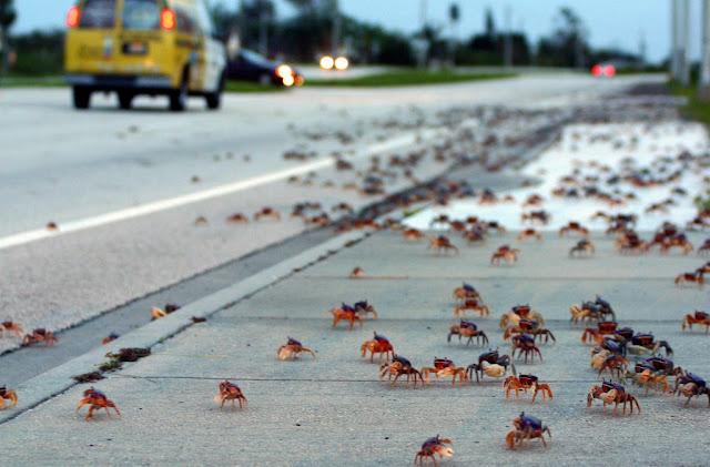 migracion del cangrejo rojo, isla navidad