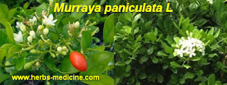 Back pain use Murraya paniculata