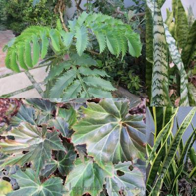 Melianthus, Sansevieria Tuberous begonia
