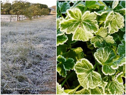 La helada cubre la vegetación a nivel del suelo / Hojas de cilantro escarchadas - Chacra Educativa Santa Lucía