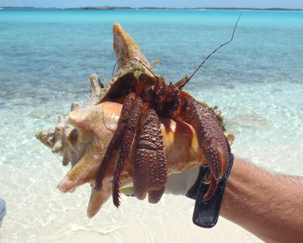 Hermit crab without shell - photo#40