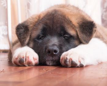 Cachorro enfermo y decaído por posible Distemper canino, Siempre sera mucho mejor prevenir que lamentar