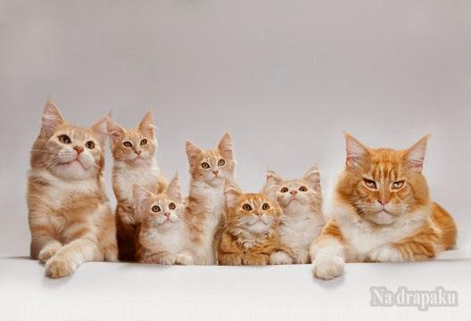 Dlaczego koty rasowe są takie drogie?