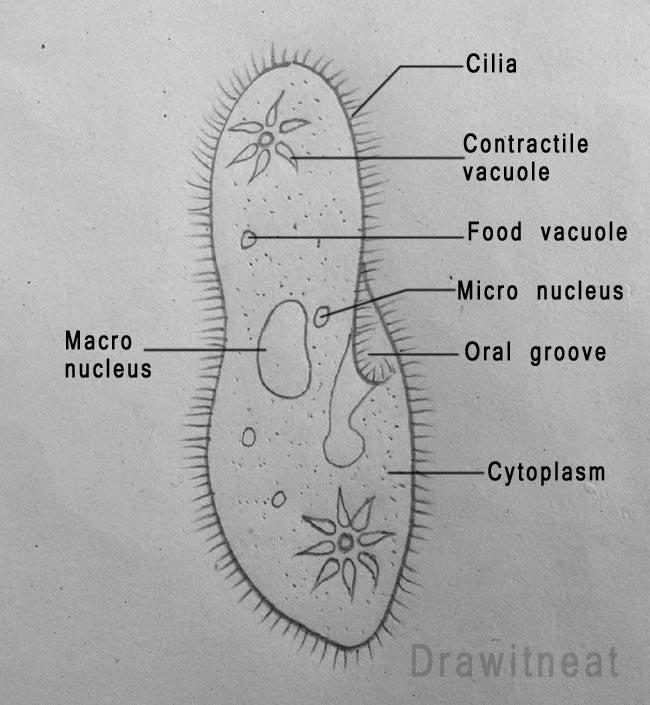 DRAW IT NEAT : How to draw Paramecium