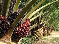 Hama Pohon Kelapa Sawit, Ini Jenis dan Cara Mengendalikannya