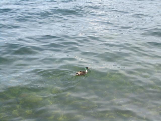 Papera Lago Maggiore