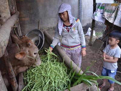 Quảng Ngãi: Rau xanh rớt giá, nông dân đổ cho bò ăn