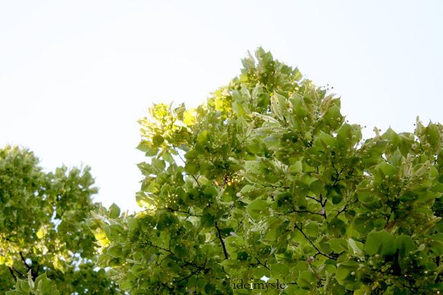 small-leaved lime, linden, lipa drobnolistna, pąki kwiatowe lipy