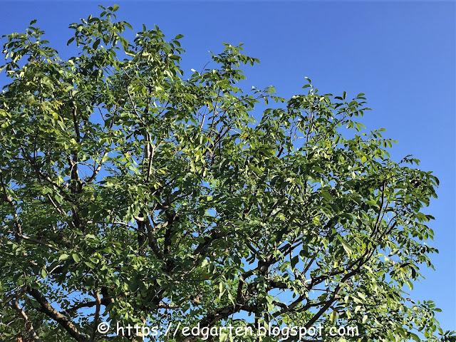Nussbaum oder Walnussbaum