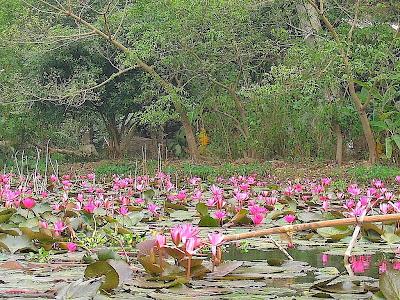 Pink Lotus, Hanoi, Vietnam