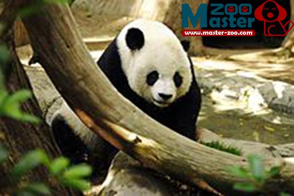 حيوان الباندا وماهى موصفاتة وأين يعيش Panda