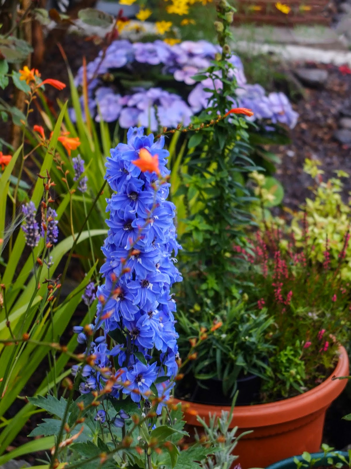 Blue Delphiniums and other flowers in an autumn garden.