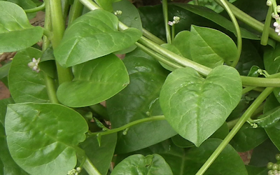 Binahong yaitu nama sebuah flora yang dipakai untuk obat dari Tiongkok yang dikenal  16 Manfaat Daun Binahong Untuk Kesehatan Tubuh Manusia