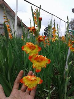tanaman hias gladiolus