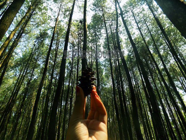 Hutan Wisata Pinus, Keindahan Pinus di Puncak Imogiri, Yogyakarta