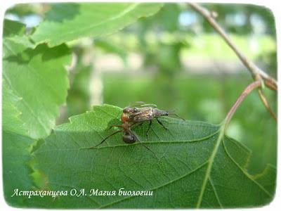 береза, магия биологии, муравей, долгоносик грушевый Phyllobius pyri нападение муравья