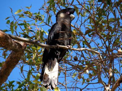 Short billed Black cockatoo