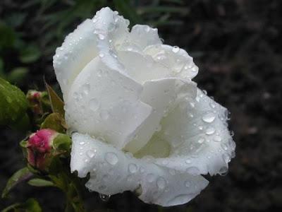 Resultado de imagen para rosas blancas con rocio