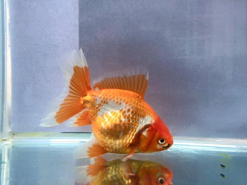 Cara Budidaya Ikan Koki Oranda