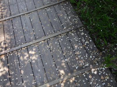むろいけ園地 湿生花園  エゴノキの花