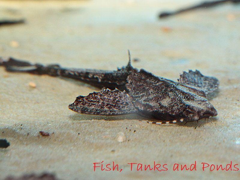 Gambar Banjo Catfish Jenis Jenis Ikan Catfish Atau Lele Hias
