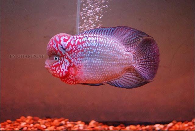 Dunia Ikan Hias - IKAN LOUHAN KAMFA ATAU GOLDEN FLOWER