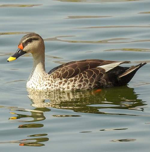 Indian spot-billed duck - Anas poecilorhyncha