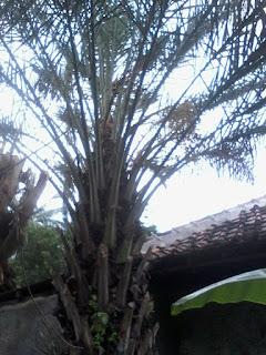 Harga  jual  pohon  palm  kurma  berbuah  lebat, jual  pohon  palm  korma  murah  bergaransi, pohon  palm  korma  besar  dan  kecil, petani  palm  kurma, tukang  tanam  palm  kurma  berpengalaman, pohon  kurma  murah  meriah,  tukang Taman minimalis murah berpengalaman,  tukang Taman kering,  Taman gaya Bali,  Taman mewah,  Taman Indah,  gajah mini,  Swiss,  Jepang,  peking,  golf,  gajah biasa,  bonsai beringin korea,  beringin compacta,  cemara udang,  serut,  pohon pule,  pulai Batang besar,  Kamboja fosil Batang besar bergaransi