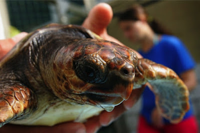 Mediterranean loggerhead turtles dying in waters off the Middle East, North Africa