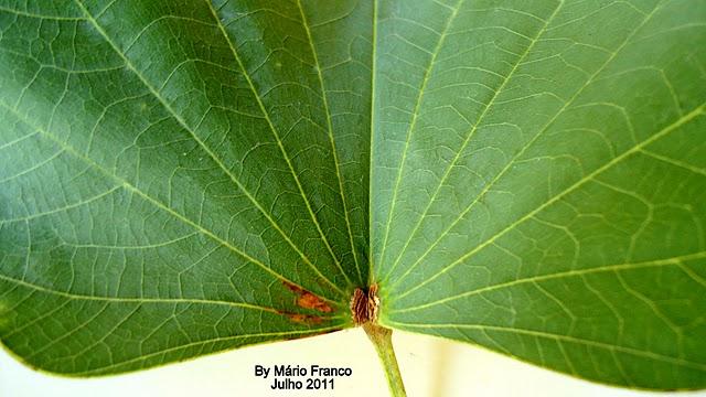 FOlha PATA-DE-VACA  - ( Bauhinia variegata )