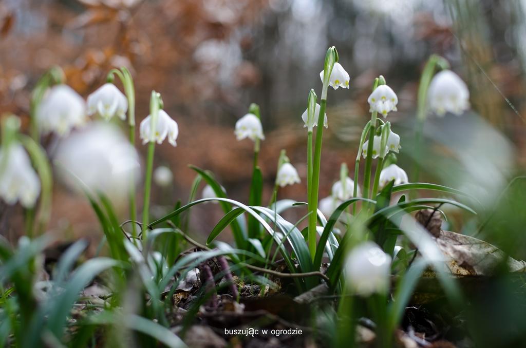 śnieżyca wiosenna, Leucojum vernum