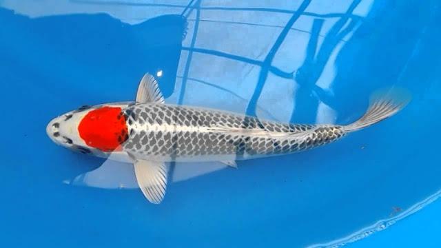 Dunia Ikan Hias - KOI TANCHO KUJAKU