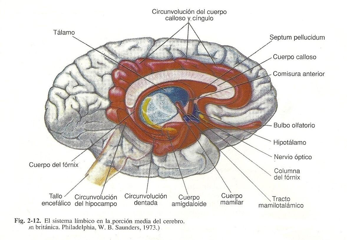 El rincón PSY: Sistema Nervioso central: Cerebro