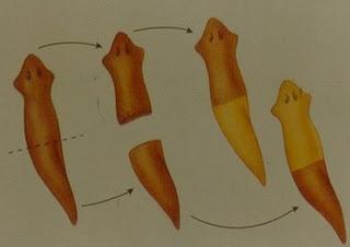 Escision o fragmentacion asexual and sexual reproduction