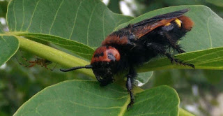 A huge wasp sat on the leaves of a Walnut tree