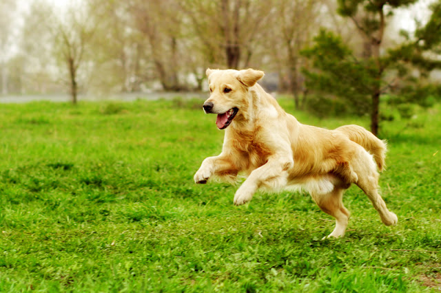 What dog trainers can learn from the best fiction. Dog training begins 'in media res', in the middle of things. Illustrated by a Golden Retriever mid-play.
