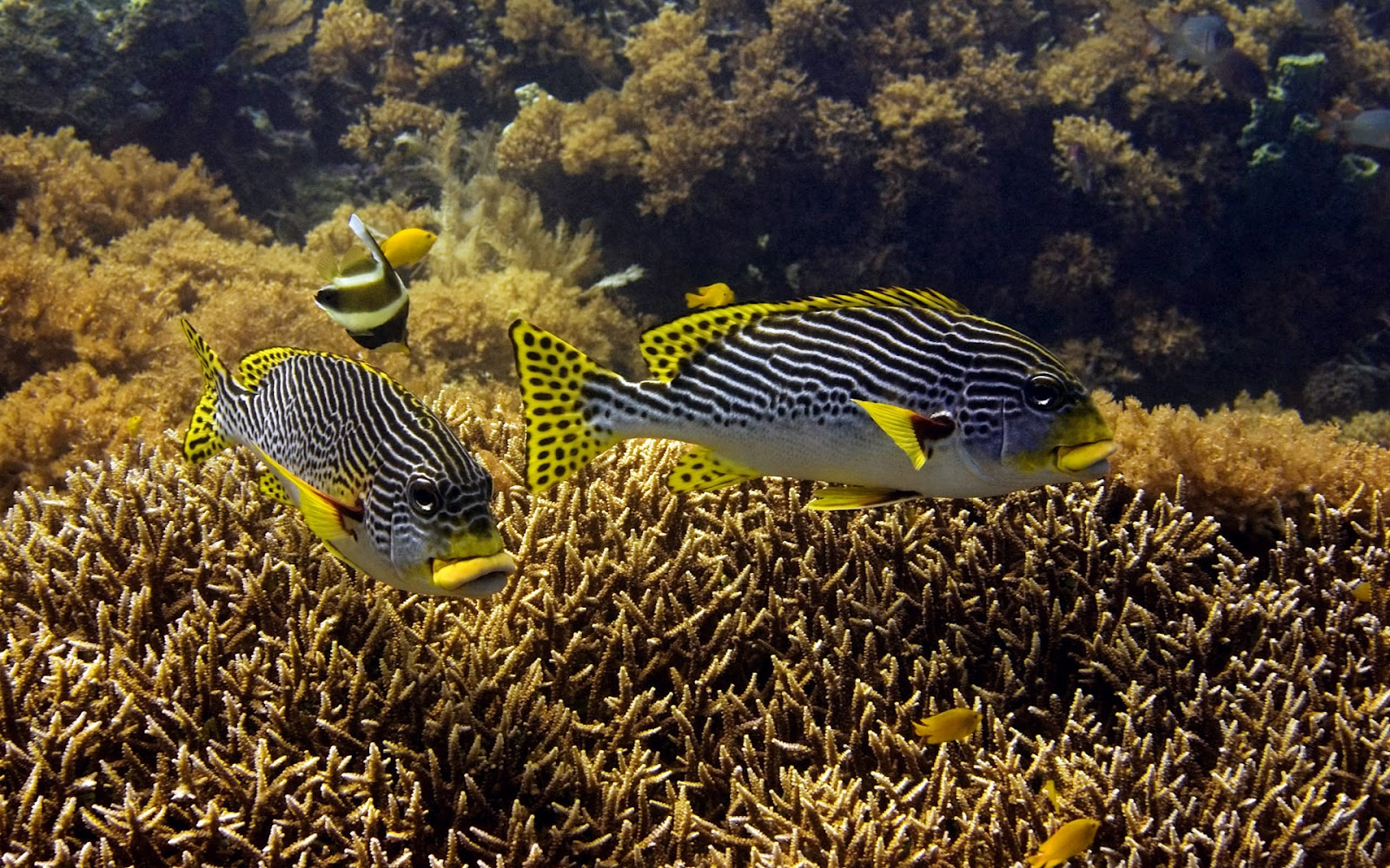Beautiful marine life wallpaper with black white yellow fish and many