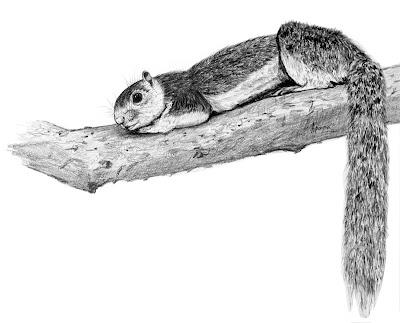 Grizzled giant squirrel illustration_AparnaK