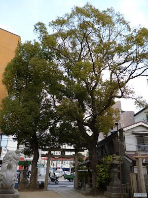 大仁八阪神社御神木