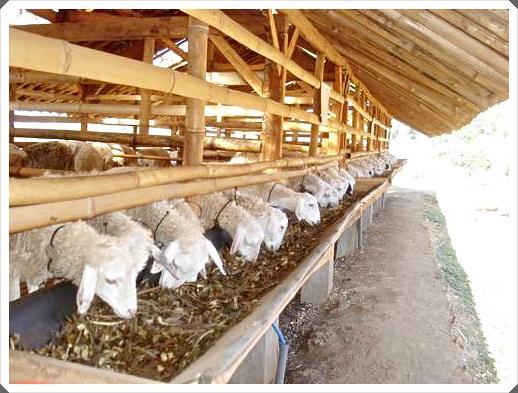 gambar 5 model kandang kambing koloni