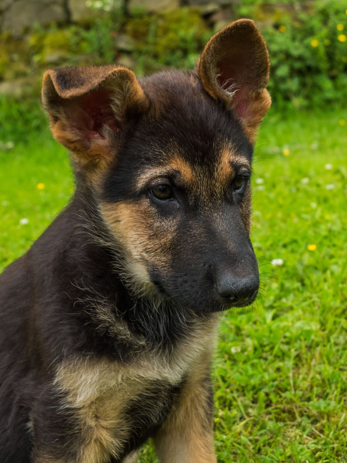 A two month German Shepherd puppy sitting in the grass with one ear up