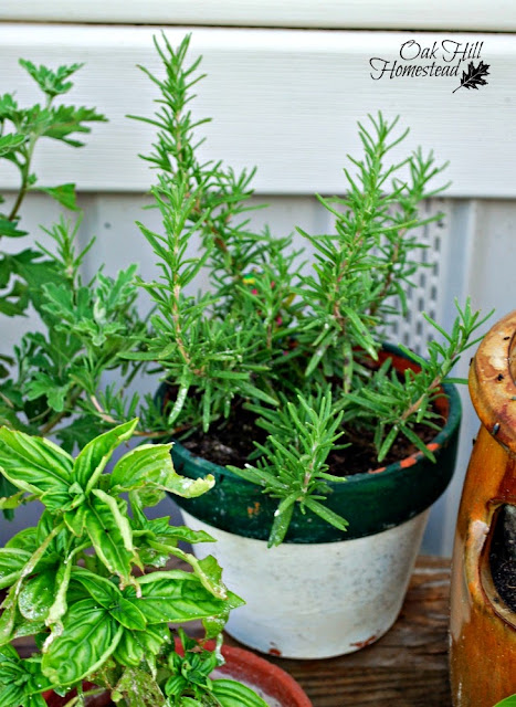 Rosemary is said to improve memory. Here's how you can turn one rosemary plant into several.