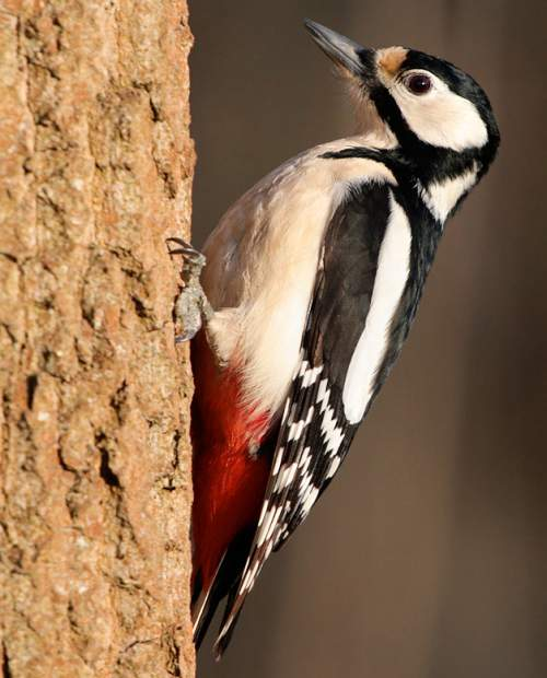Indian birds - Picture of Great spotted woodpecker - Dendrocopos major