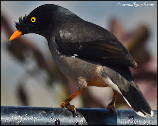 Back, Jungle Myna,