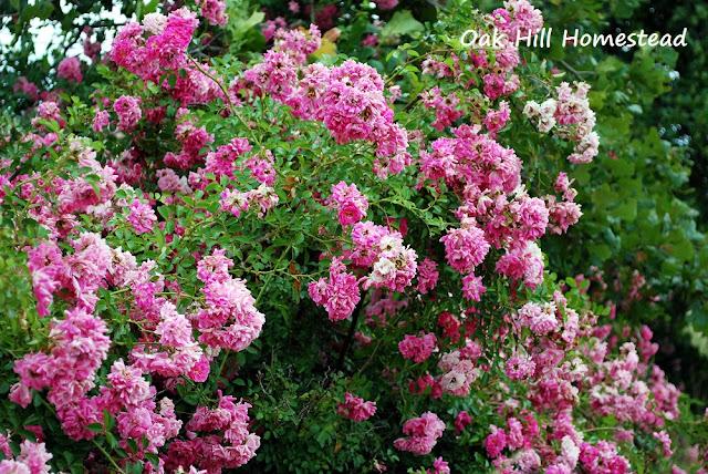 Wild hedge roses