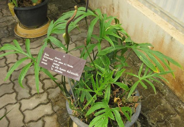 CHÓC GAI - Lasia spinosa - Nguyên liệu làm thuốc Chữa Ho Hen