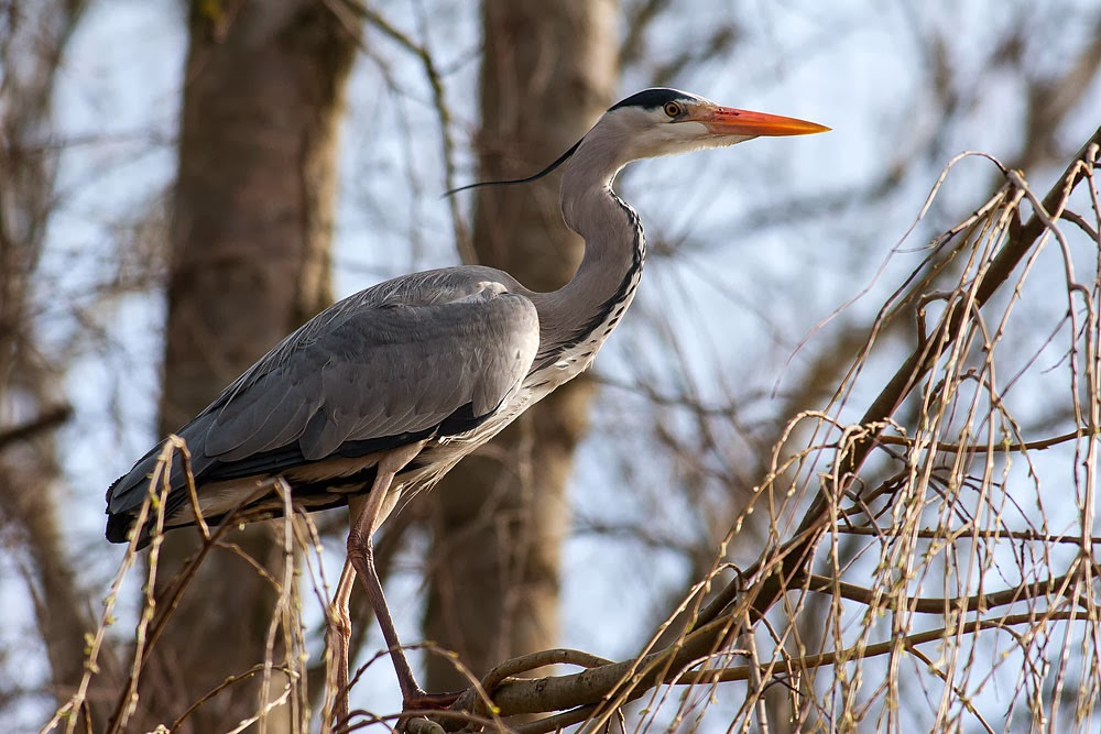 Grey Heron - Loughton Valley Park, Milton Keynes