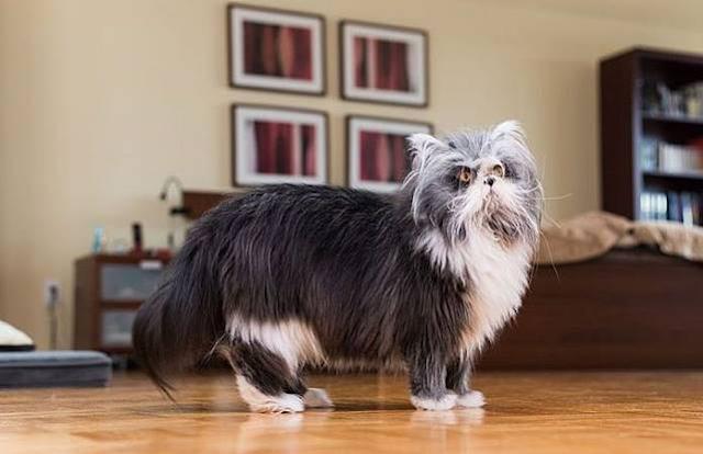 Karna Sindrom Hipertrikosis Kucing Jadi Anjing