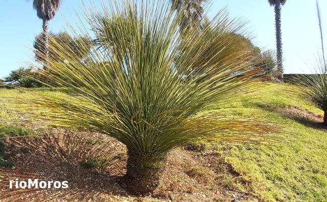 DASILIRION de hojas cuadradas: Dasylirion quadrangulatum