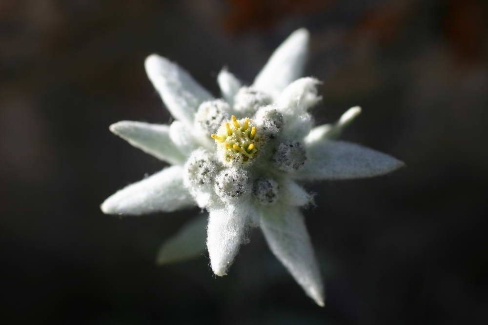 Edelweiss Wallpaper